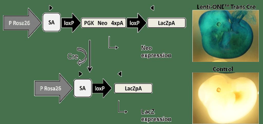 Experimental results: transgenesis application