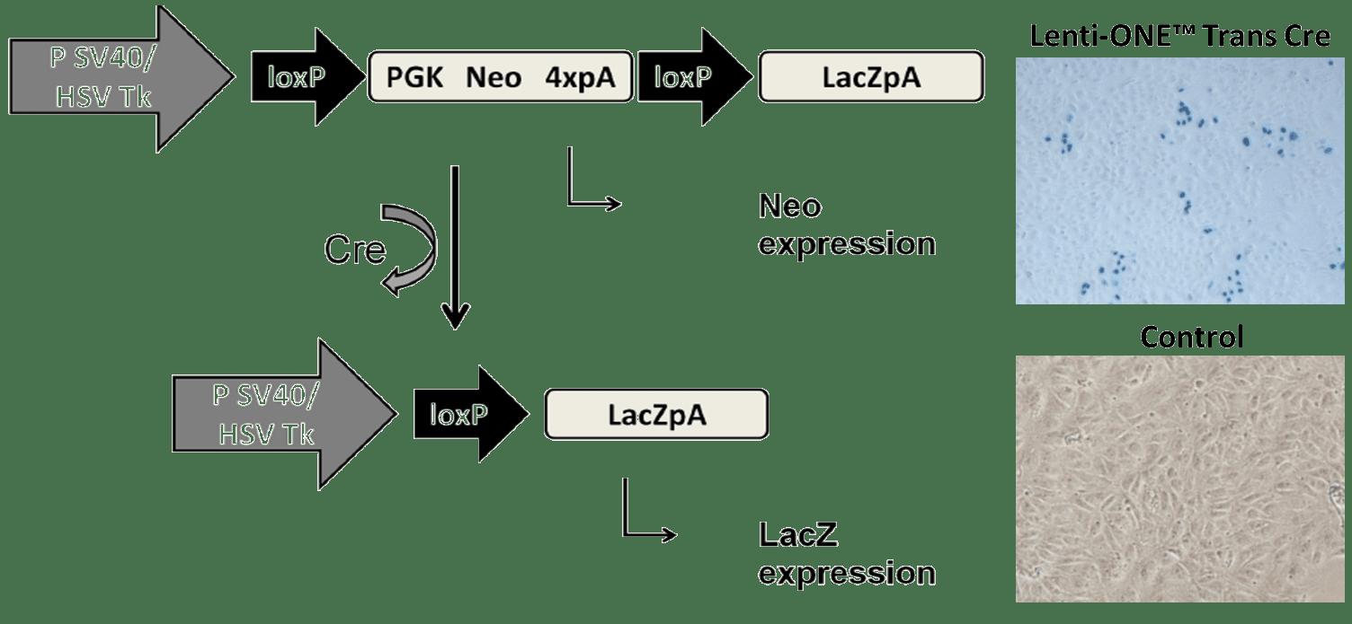 Experimental results: in vitro application