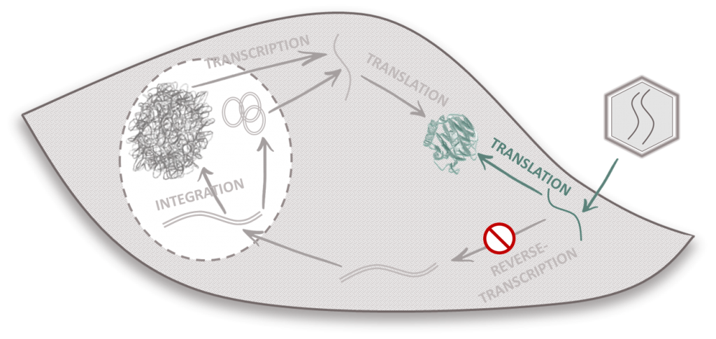 transient lentiviral vectors cycle