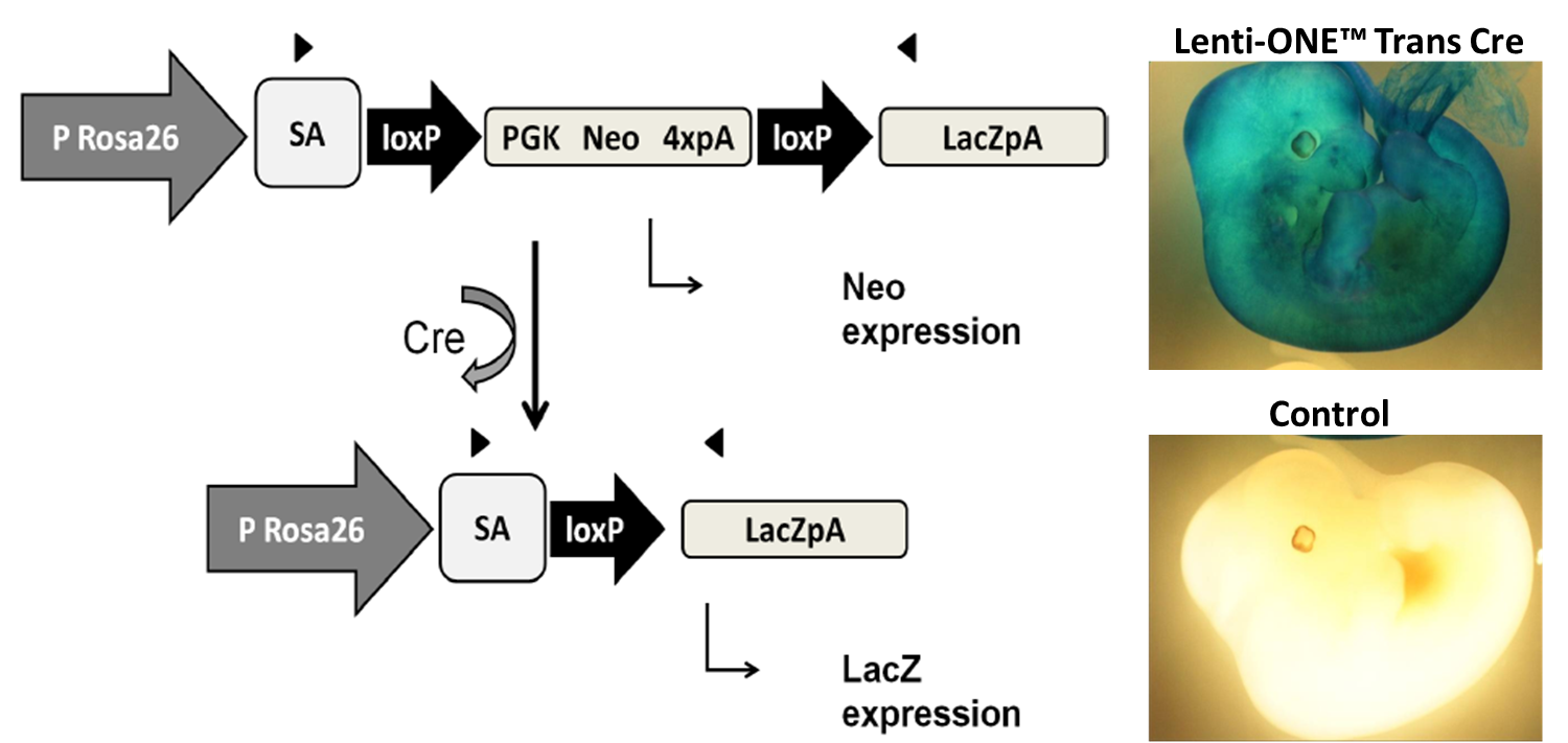 LoxP site recombination in Rosa26