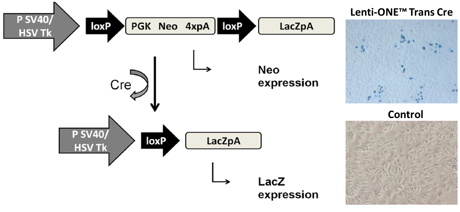 LoxP site recombination in CV1-5B