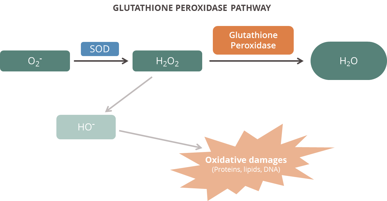 GPX pathway