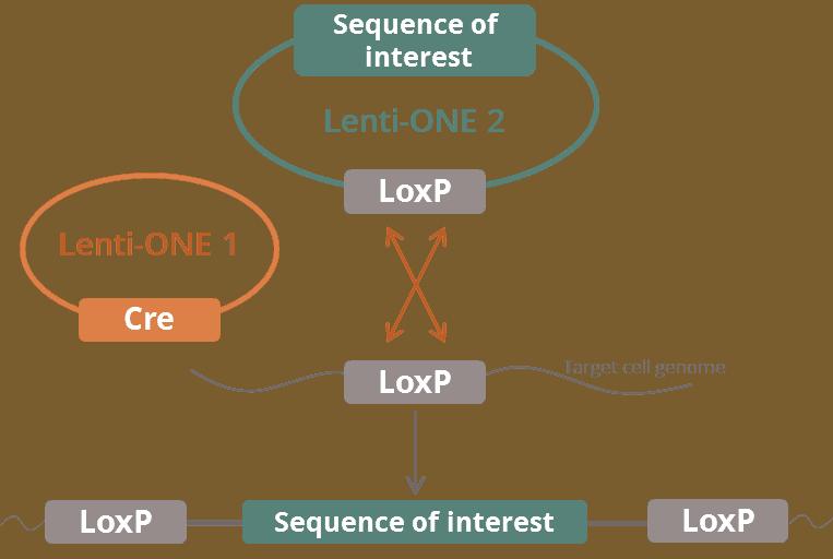 Lenti-ONE Cre-NLS -