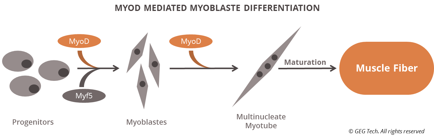 MyoD mediated differentiation