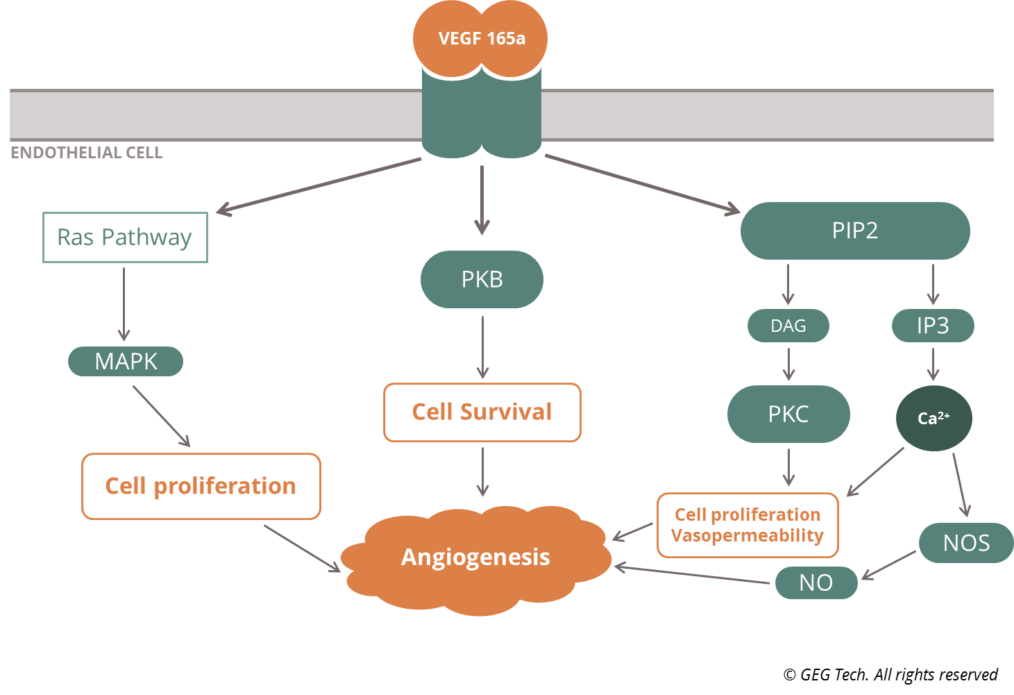 VEGF165a signaling pathway