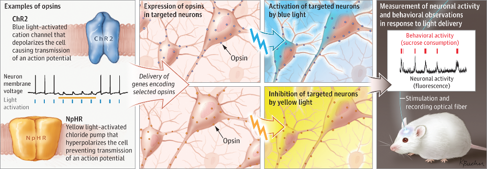 Details about how optogenetics work