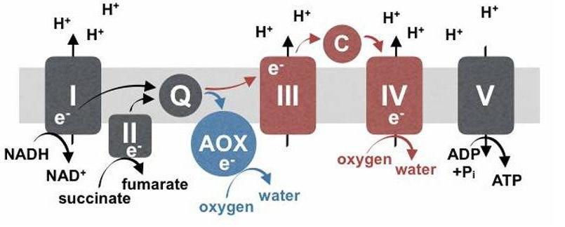 Alternative oxidase (AOX) - Blog, Vectorology